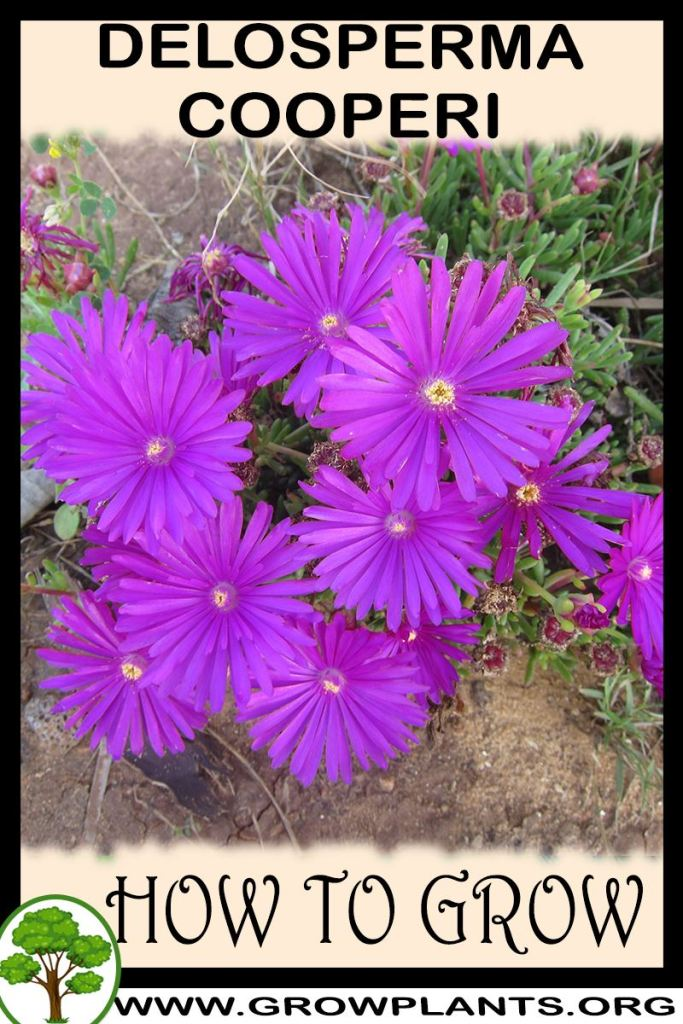 How to grow Delosperma cooperi