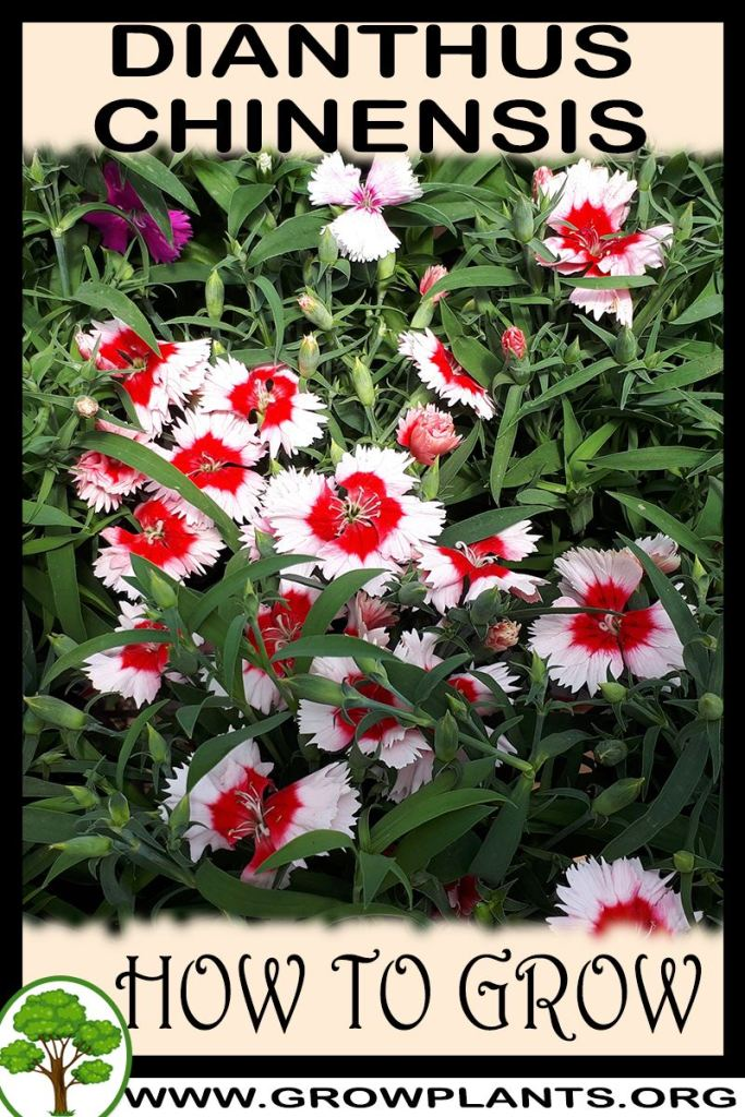 How to grow Dianthus chinensis