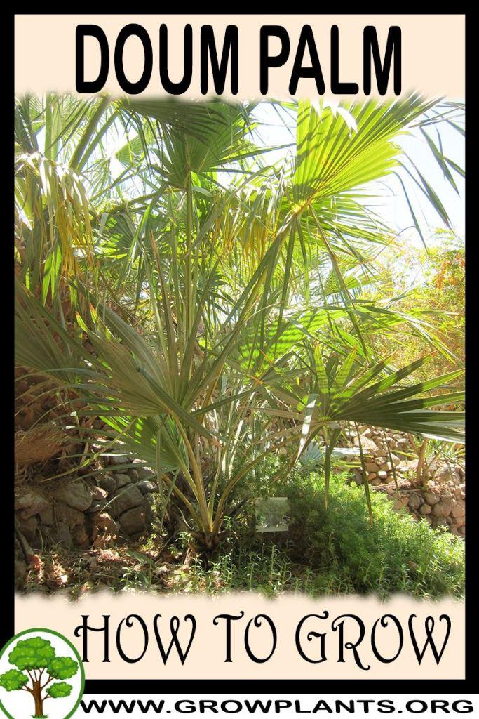 How to grow Doum palm