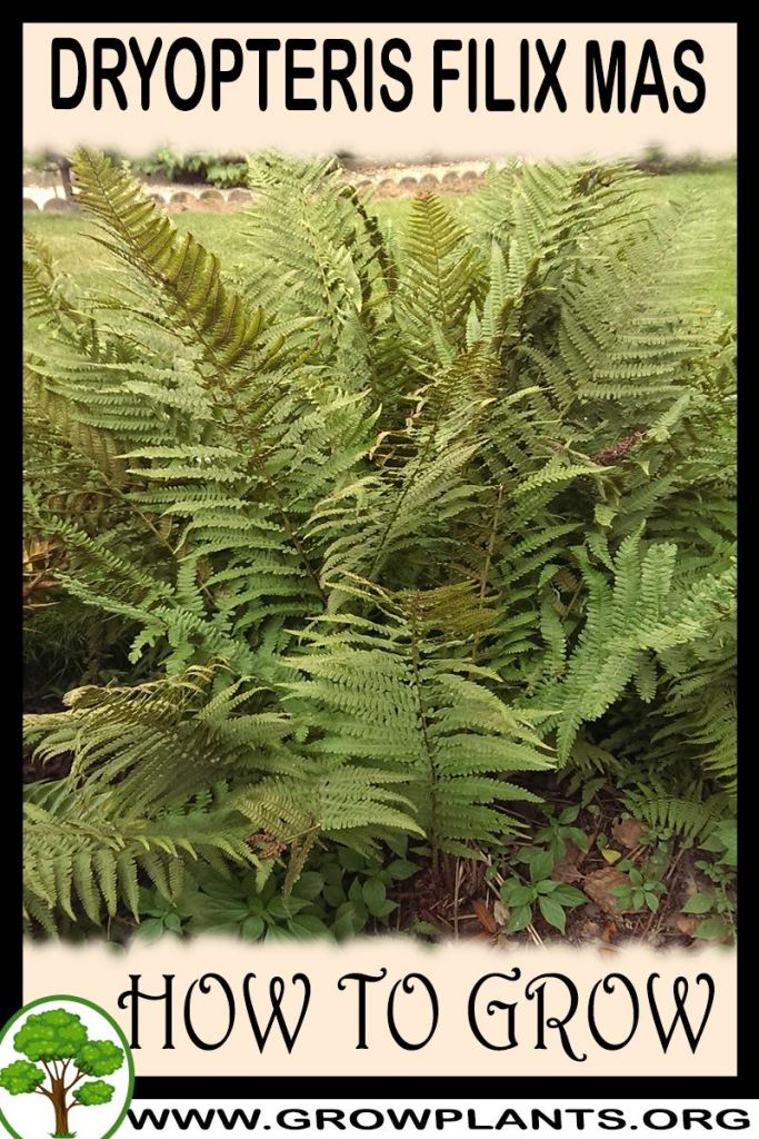 How to grow Dryopteris filix mas
