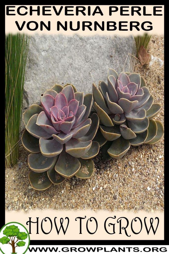 How to grow Echeveria Perle von Nurnberg