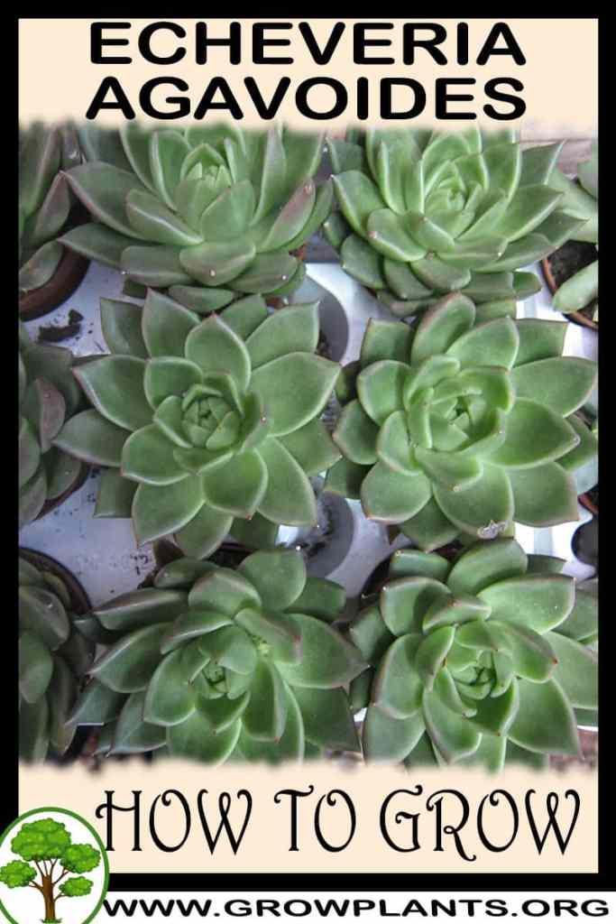 How to grow Echeveria agavoides