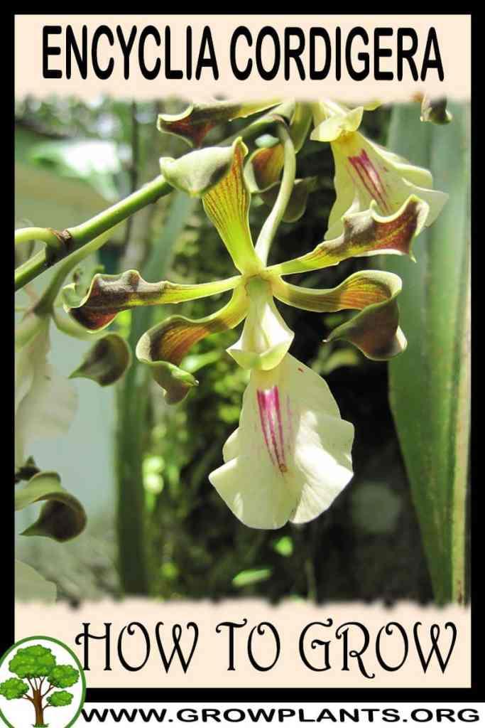 How to grow Encyclia cordigera