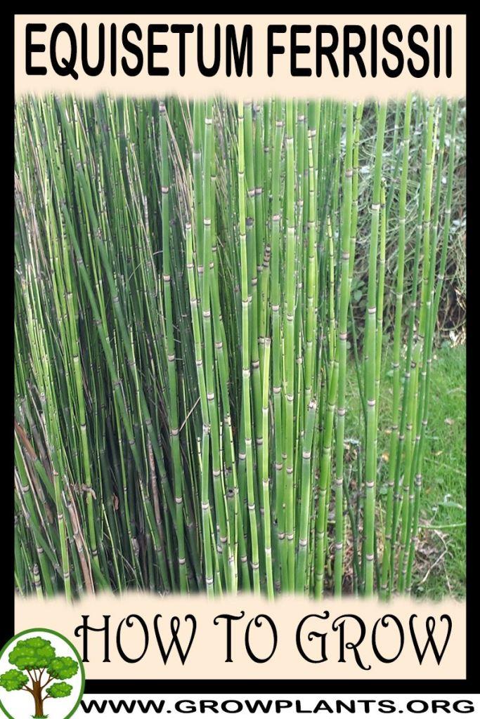 How to grow Equisetum ferrissii