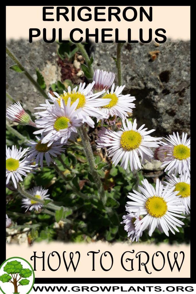 How to grow Erigeron pulchellus
