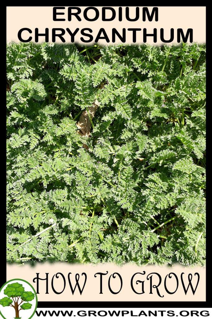How to grow Erodium chrysanthum