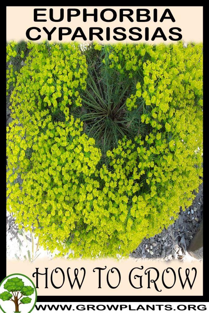 How to grow Euphorbia cyparissias