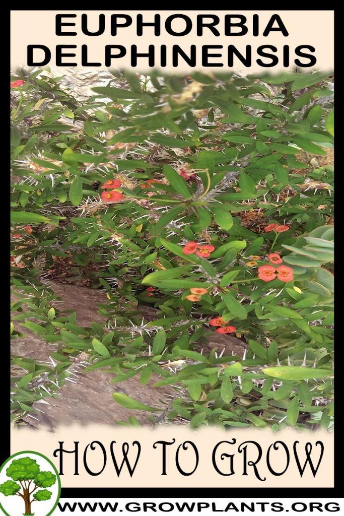 How to grow Euphorbia delphinensis