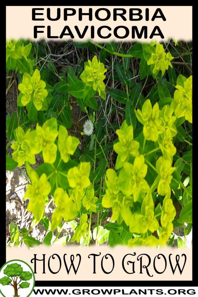 How to grow Euphorbia flavicoma