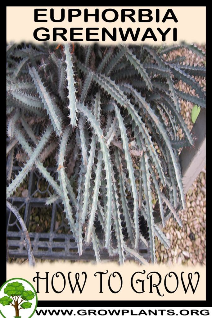 How to grow Euphorbia greenwayi