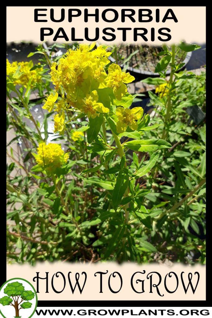 How to grow Euphorbia palustris
