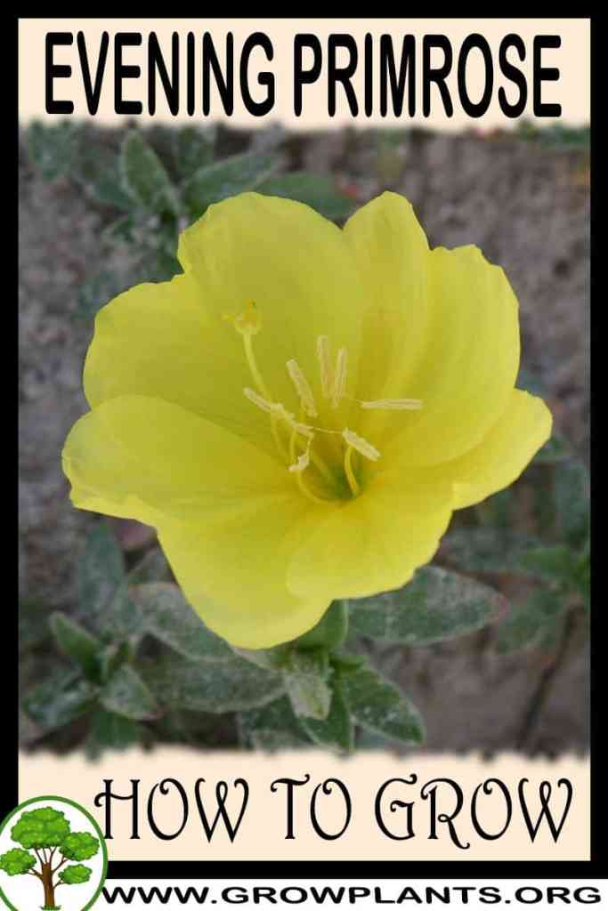 How to grow Evening primrose