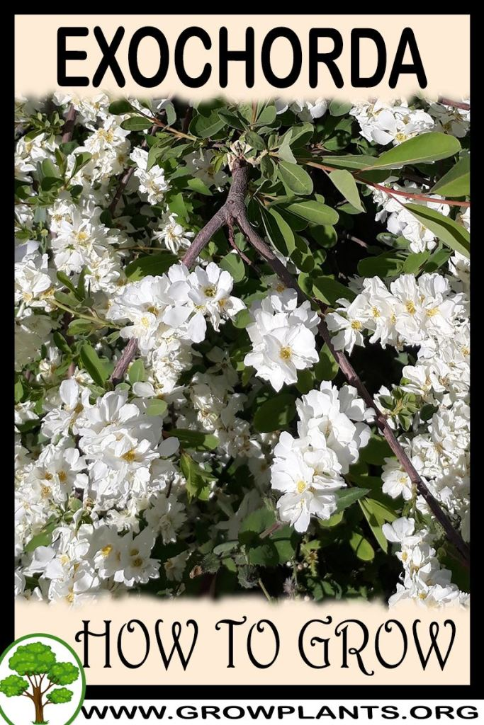 How to grow Exochorda