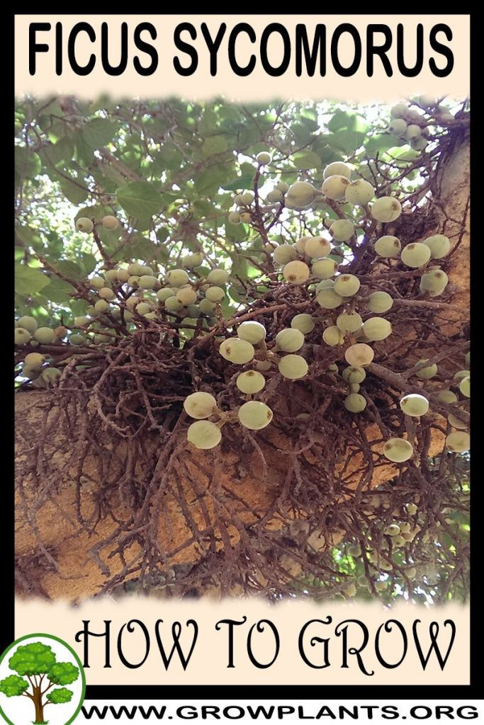 How to grow Ficus sycomorus