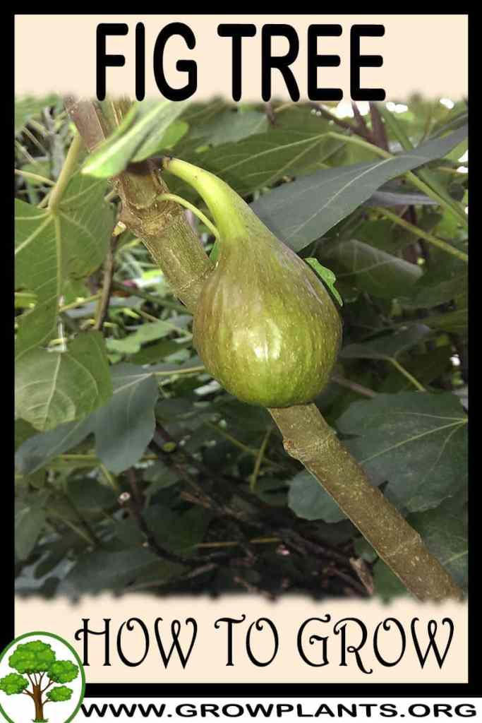 How to grow Fig tree