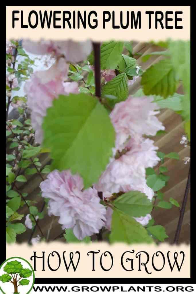 How to grow Flowering plum tree