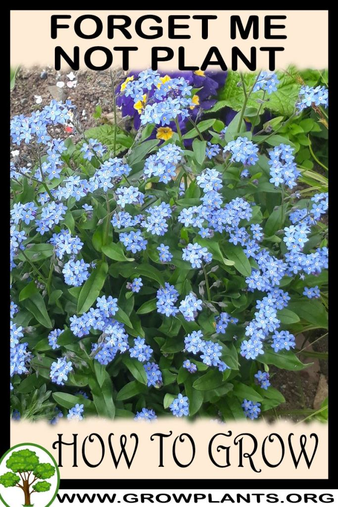 How to grow Forget me not plant