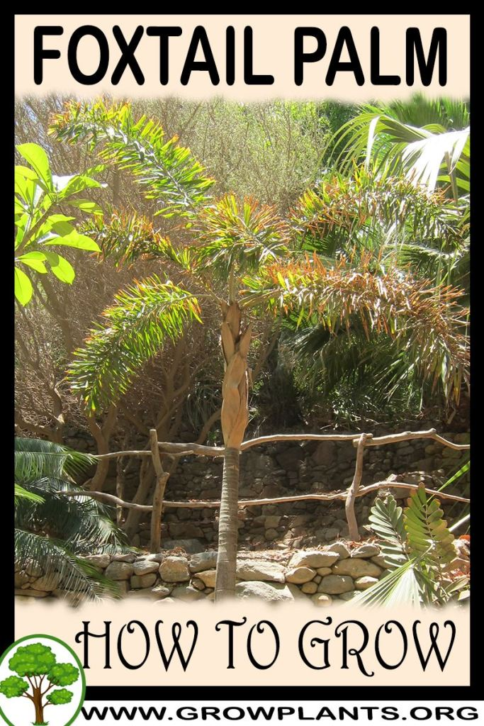 How to grow Foxtail palm