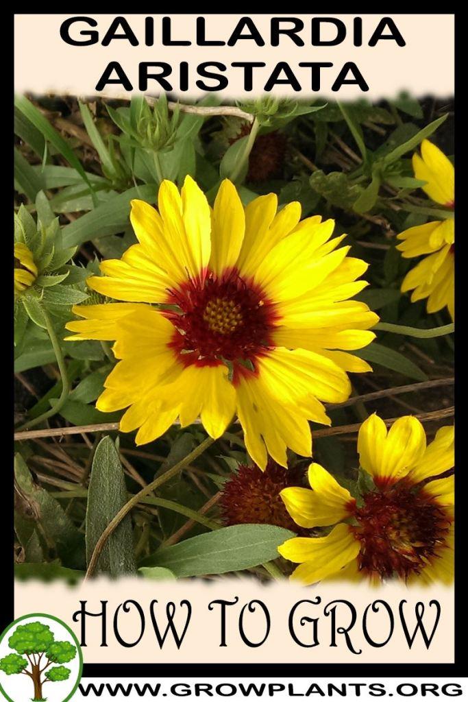How to grow Gaillardia aristata