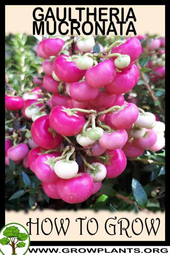 How to grow Gaultheria mucronata
