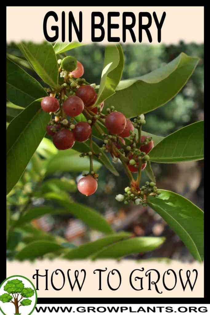 How to grow Gin berry