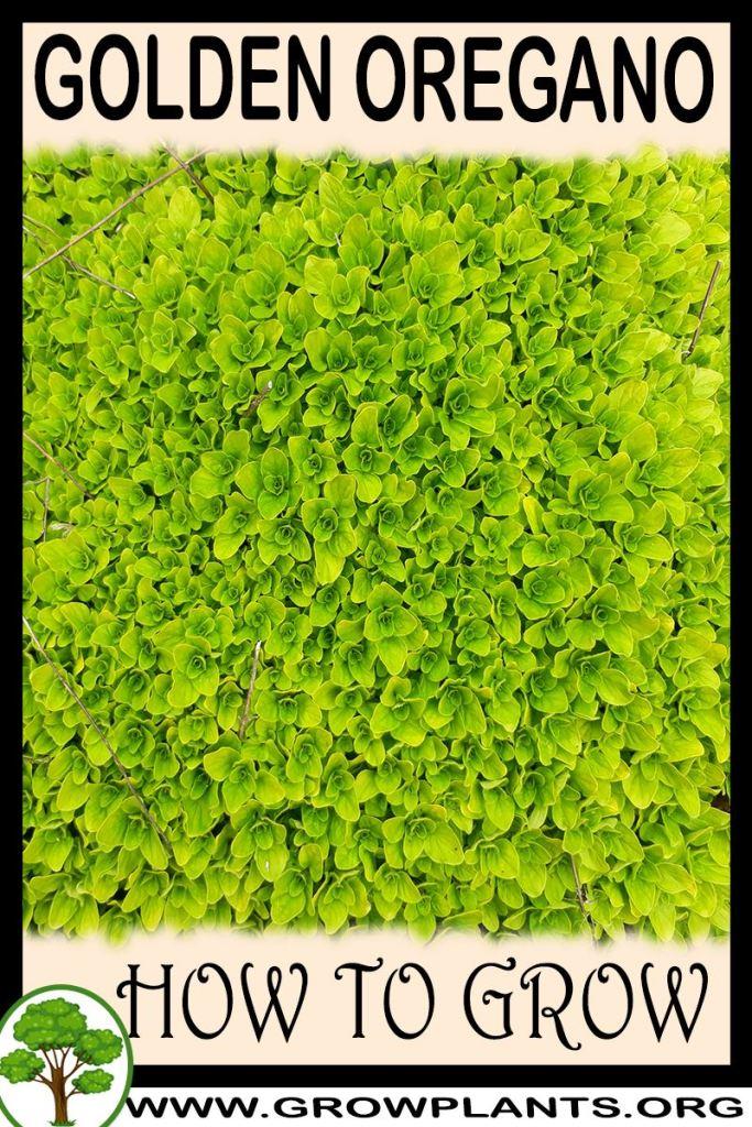 How to grow Golden oregano
