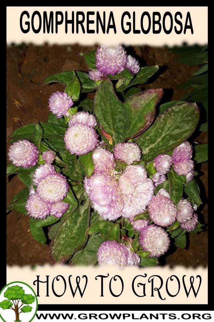 How to grow Gomphrena globosa