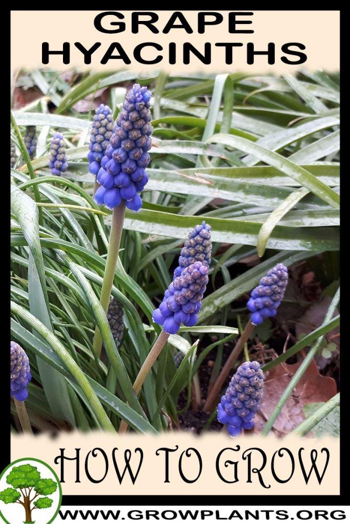 How to grow Grape hyacinths