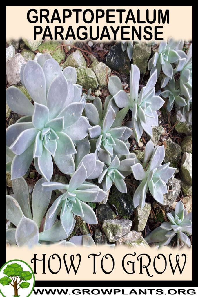 How to grow Graptopetalum paraguayense