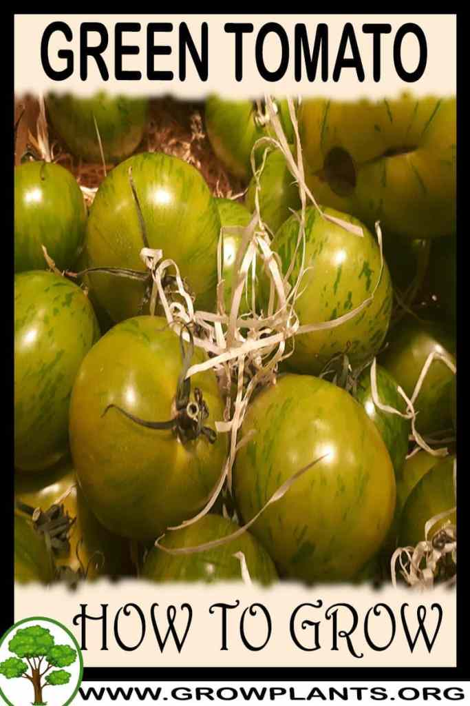 How to grow Green tomato