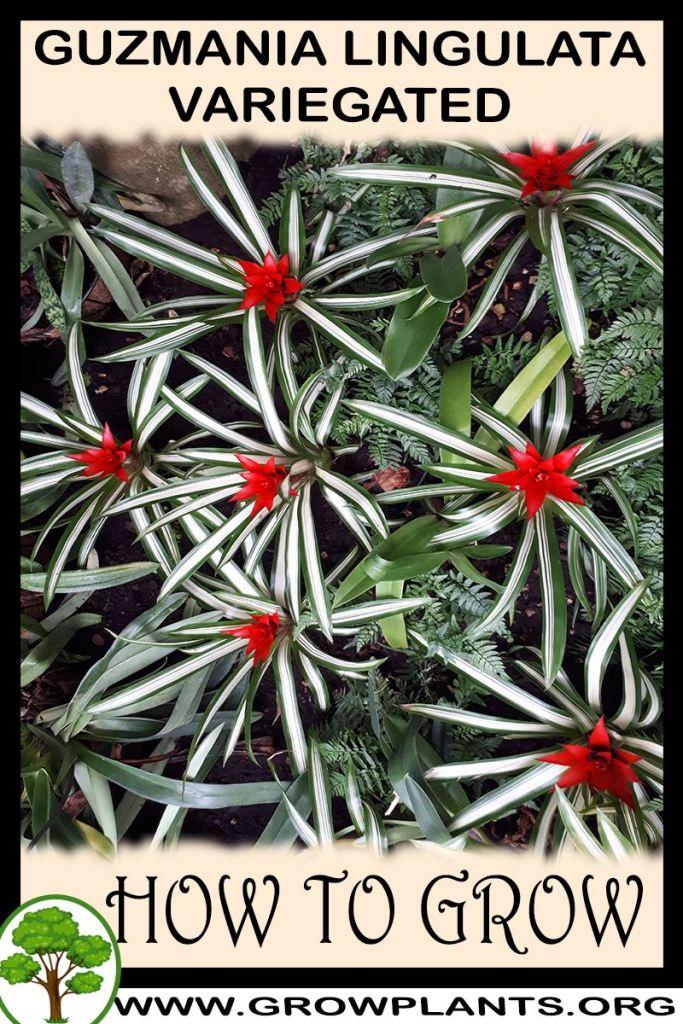 How to grow Guzmania lingulata Variegated