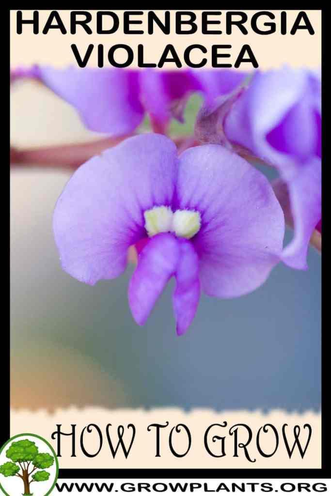 How to grow Hardenbergia violacea