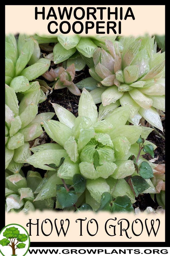 How to grow Haworthia cooperi