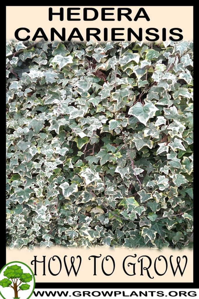 How to grow Hedera canariensis