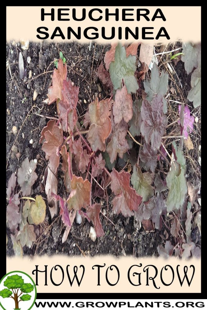 How to grow Heuchera sanguinea