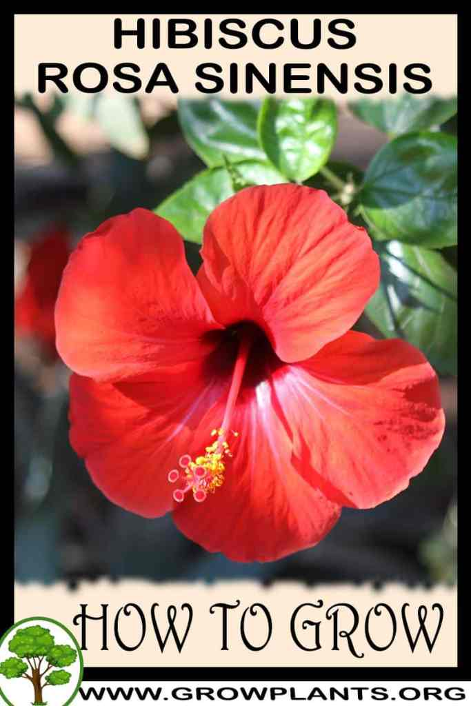 How to grow Hibiscus rosa sinensis