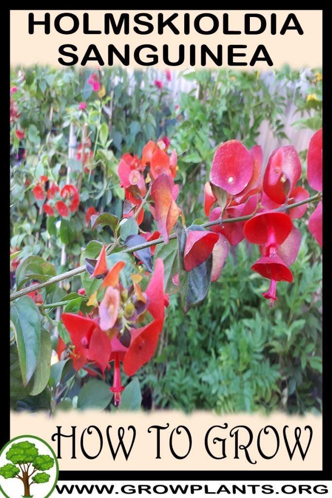 How to grow Holmskioldia sanguinea