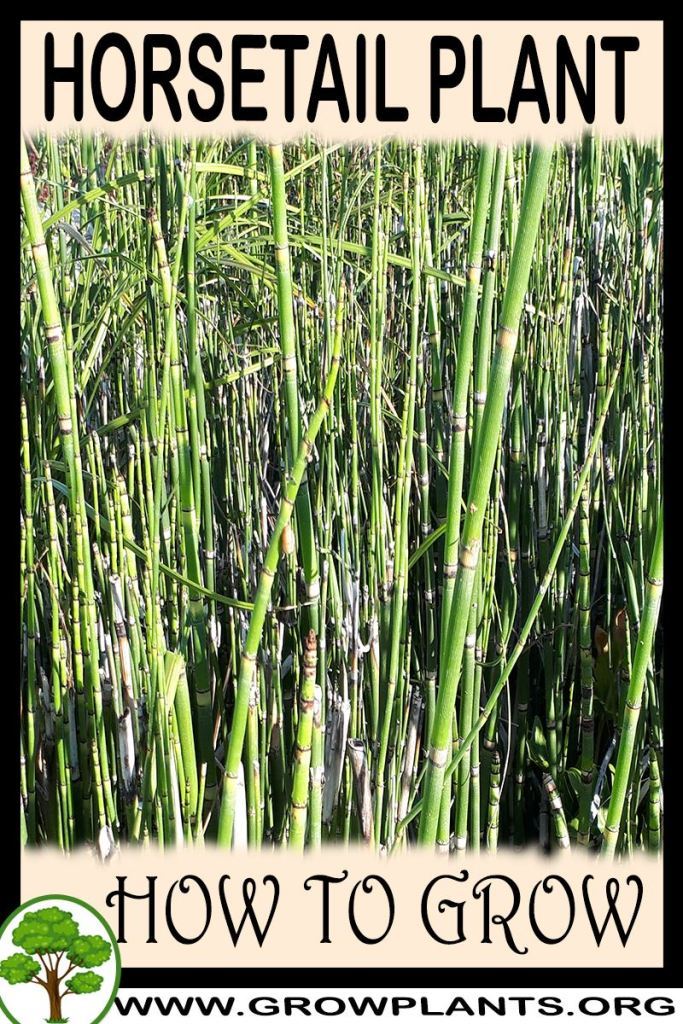 How to grow Horsetail plant