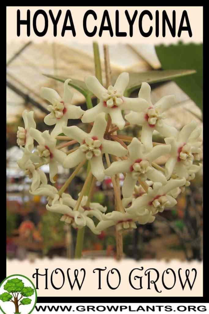 How to grow Hoya calycina