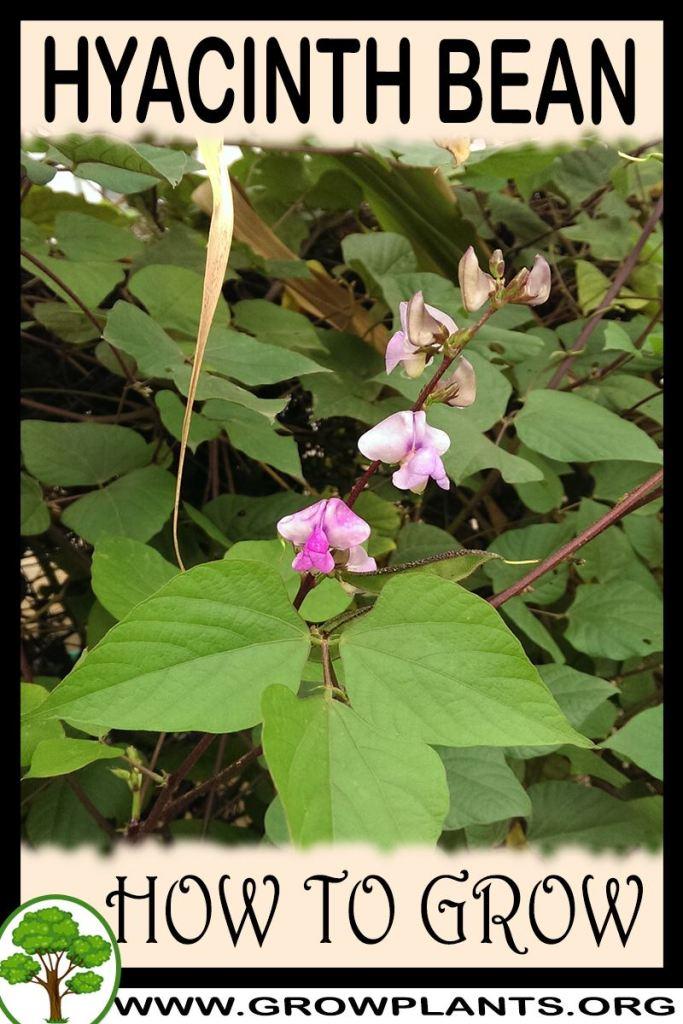 How to grow Hyacinth bean