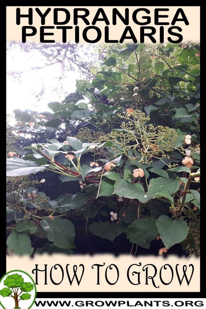 How to grow Hydrangea petiolaris