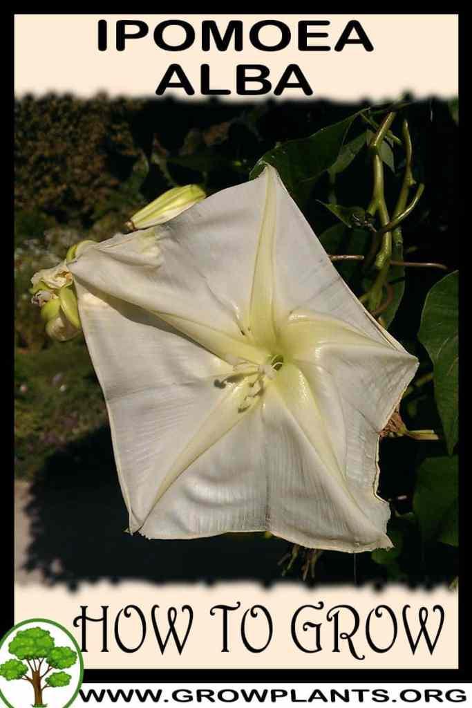 How to grow Ipomoea alba