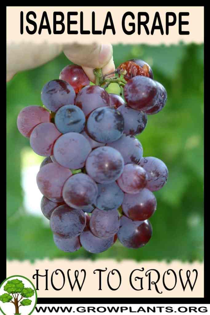 How to grow Isabella grape