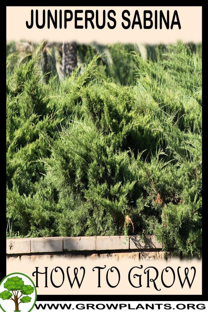 How to grow Juniperus sabina