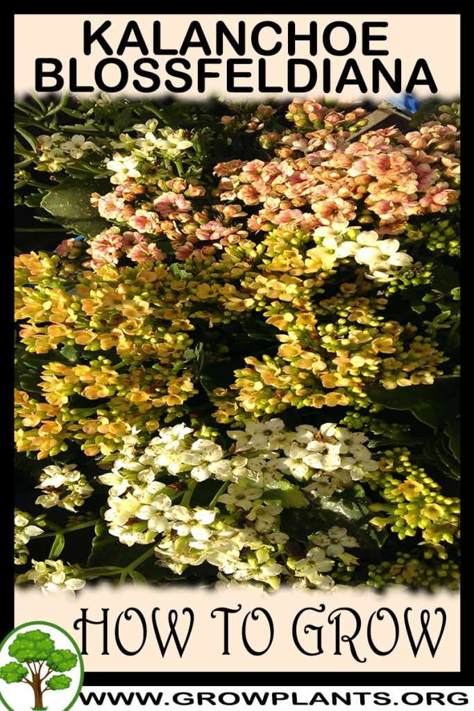How to grow Kalanchoe blossfeldiana