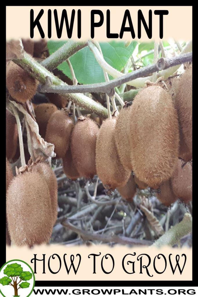 How to grow Kiwi plant
