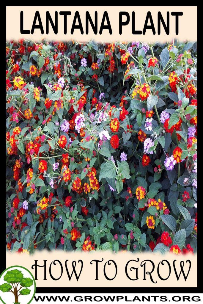How to grow Lantana plant