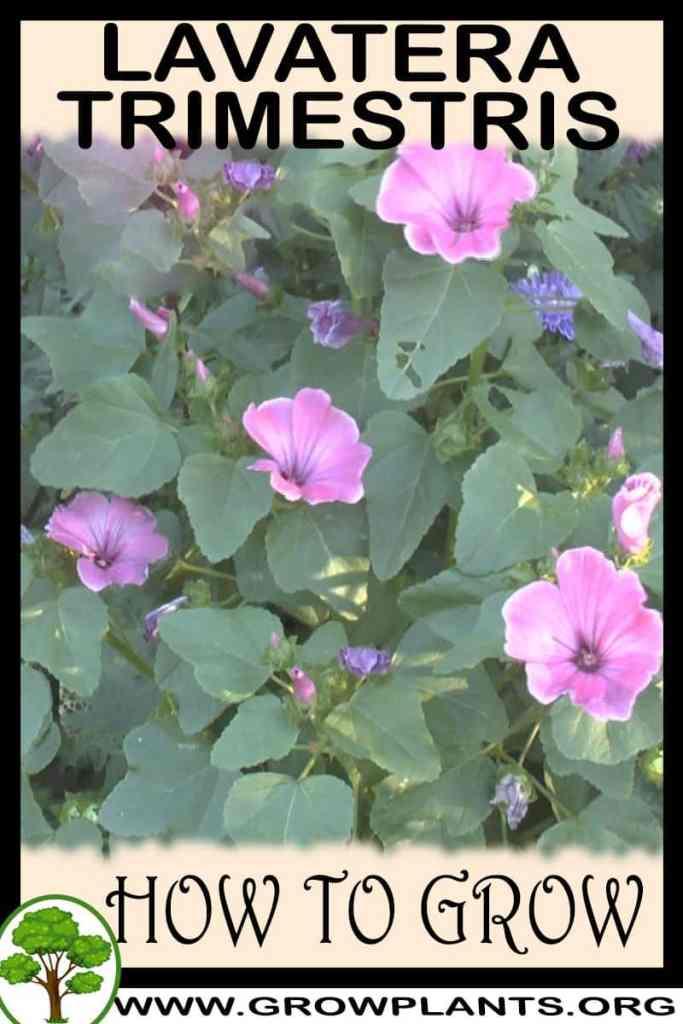 How to grow Lavatera trimestris