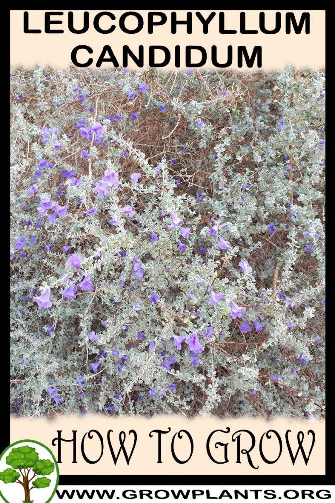 How to grow Leucophyllum candidum