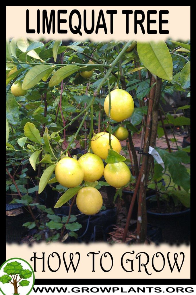How to grow Limequat tree